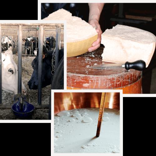 i sapori di parma - mucca frisona - preparazione - parmigiano